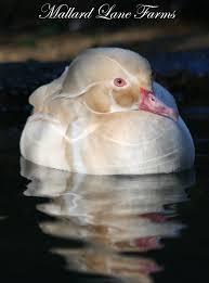 wood ducks for sale mallard farms