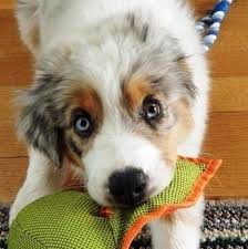 australian shepherd husky puppy 22 best images about pups and their toys on pinterest chihuahuas