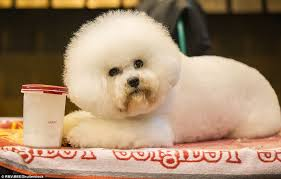 bichon frise years crufts dog show 2016 entrants arrive in style at the 125th show in