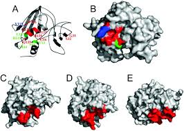 functional analysis of the tcr binding domain of toxic shock