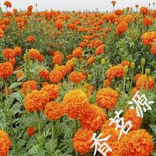 Calendula Flowers 2017 Calendula Flower Seeds Potted Chrysanthemum Flowers And Seed
