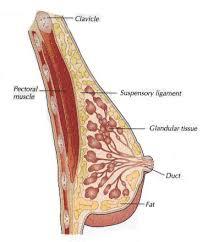 Female Breast Anatomy And Physiology Female B Anatomy And Physiology Of Breast With Student Of Anatomy