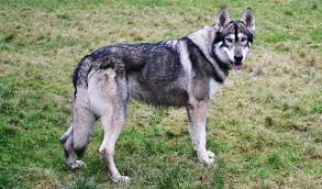 husky x australian shepherd domestic breeds with known or suspected wild ancestry topics on