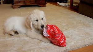 golden retriever puppy opening present