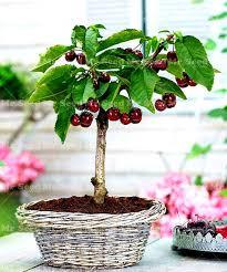 Cherry Tree Fruit - aliexpress com buy 10pcs cherry seeds mini cherry tree organic