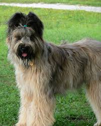 affenpinscher skin problems breed of the week the briard simply for dogs