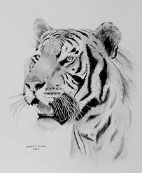 sketches of tigers by pencil perfection tiger head drawing