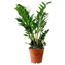 Cateracterum Palm by Succulents U0026 Plants Ikea