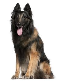 belgian sheepdog tervuren breed info parkwood animal hospital