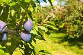 plum tree identification hunker