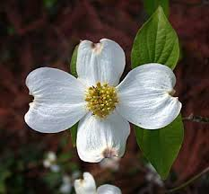 dogwood flowers flowering dogwood cornus florida