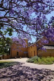 australian native plants with purple flowers the dream tree jacaranda sydney icon sydney living museums