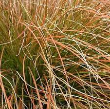 carex testacea prairie evergreen ornamental grass plant