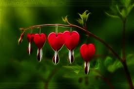 bleeding heart flower the bleeding heart s bloom by 1sonofatoms0 on deviantart