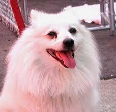 american eskimo dog jack russell mix adopted dogs etobicoke humane society