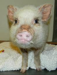 mini pig mange sarcoptic mange symptoms life with a mini pig