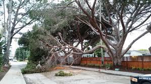 50 foot tree falls blocks roadway nbc 7 san diego