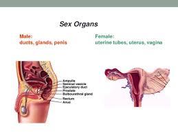 Female Sexual Anatomy Pictures B 1 Male U0026 Female Reproductive Anatomy