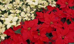 mlewallpapers com white and red poinsettias i