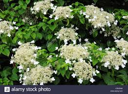 flowers of climbing hydrangea hydrangea petiolaris stock photo
