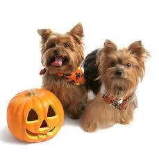 Yorkie Halloween Costumes 61 Halloween Animals Images Happy Halloween