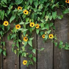 growing blackeyed susan vine in containers