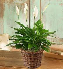 funeral plants funeral plants fn p005 everest florist and gifts