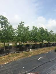 chinkapin oak trees to be planted in oak allee the source