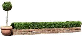 English Box Topiary - large english box topiary cone 1 metre tall ebay