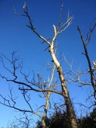 is my birch tree dead or dangerous and what does it to do with