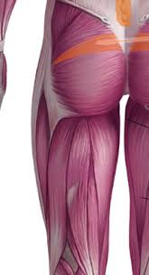 The Human Anatomy Muscles Posterior Muscles Of The Human Body