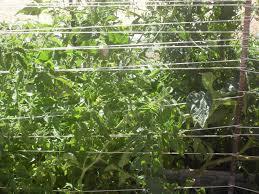 the scientific gardener the florida weave