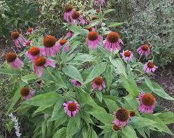 native plants in maryland popular purple coneflower u2013 maryland wild plants u2013 medium