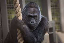Columbus Zoo Lights Hours by Colo Oldest Gorilla Ever On Record Dies At 60 In Her Sleep At