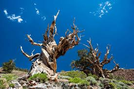 what is the oldest tree in the world worlds oldest tree