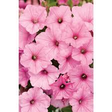 proven winners supertunia vista bubblegum petunia live plant