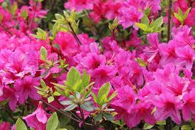 free photo azalea flowers flower gardens free image on pixabay