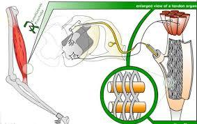 Describe A Reflex Action Reflexes Boundless Anatomy And Physiology