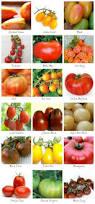 best 25 tomato garden ideas on pinterest growing tomatoes grow