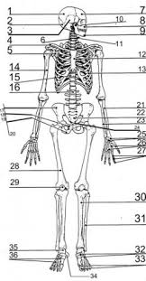 skeleton coloring axial skeleton coloring page coloring pages axial skeleton