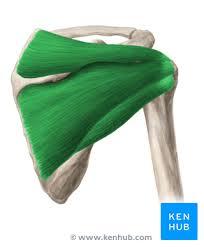 Innervation Of Supraspinatus Rotator Cuff Anatomy Function Properties Composition Kenhub