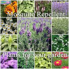 How To Get Rid Of Backyard Flies by Get Rid Of Mosquitoes U0026 Flies By Growing Plants