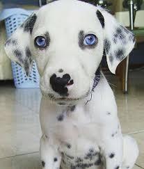 720 dalmatian puppies images dalmatian puppies
