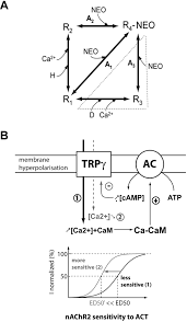transmembrane potential polarization calcium influx and receptor