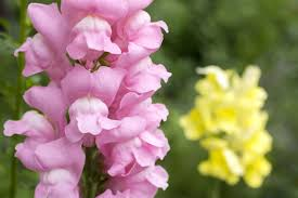 snapdragon flowers snapdragon flower meaning flower meaning