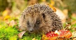 a-z-animals.com/media/2018/09/Hedgehog-in-grass.jp...