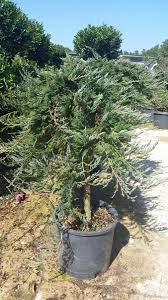 Real Topiary Trees For Sale - topiary woodlands wholesale nursery