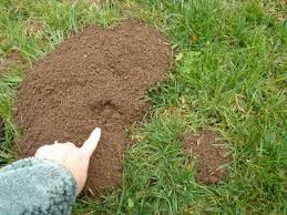How To Get Rid Of Moles In The Backyard by Arv Pest Control