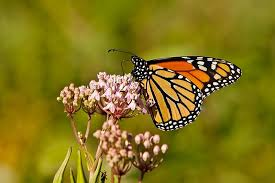 how a monarch butterfly nectar from flowers 7 what does