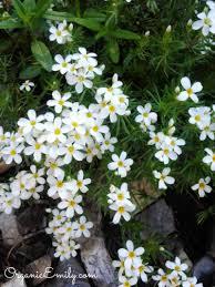 albion basin wild flower identification